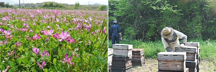 れんげ蜂蜜養蜂の様子3