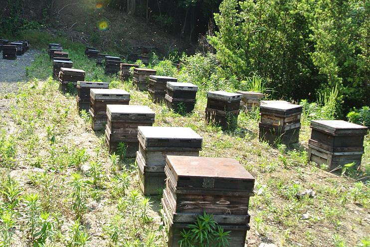 巣みつ養蜂の様子1
