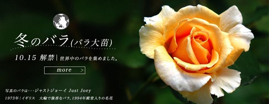 冬のバラ大苗