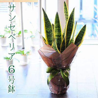 観葉植物 サンセベリア ローレンチ 6号鉢