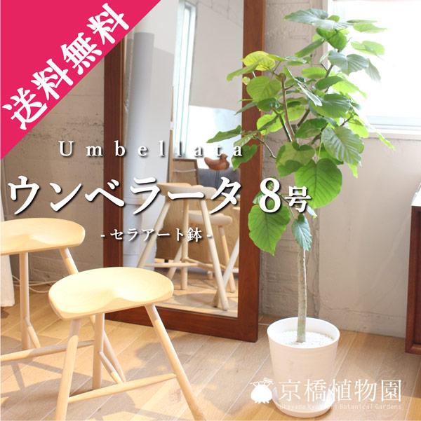 ウンベラータ8号セラアート鉢
