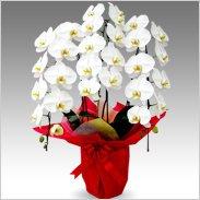 エクセレント蝶蘭大輪3本立ち 30輪 以上保証「白大輪」¥15,000(税抜)【送料無料】