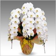 エクセレント蝶蘭大輪3本立ち 45輪以上保証「白大輪」¥42,000(税抜)【送料無料】