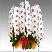 エクセレント胡蝶蘭3本立ち50輪以上保証「白・赤大輪」¥47,000(税抜)【送料無料】