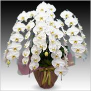 最高級胡蝶蘭5本立ち60輪以上保証「白大輪」¥52,500(税抜)【送料無料】
