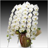 最高級胡蝶蘭3本立ち60輪以上保証「白大輪」¥63,000(税抜)【送料無料】