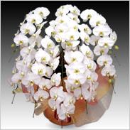 最高級胡蝶蘭10本立ち100輪以上保証「白大輪」¥126,000(税抜)【送料無料】