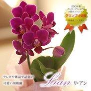 円筒型 パッケージ ミディ胡蝶蘭 ¥4,590(税抜)【送料無料】
