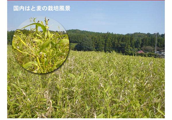 国内はと麦の栽培風景