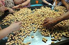 手作業でよい豆を選別して製品化