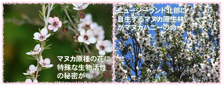 マヌカ樹木と花には秘密が・・・
