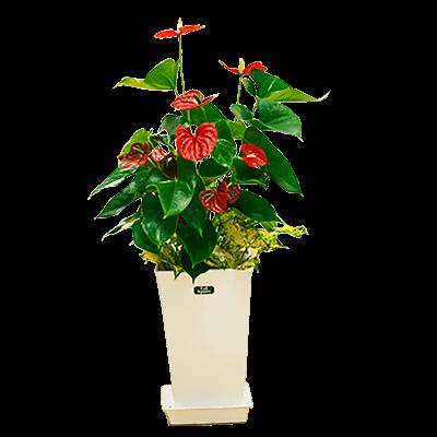 産直観葉植物