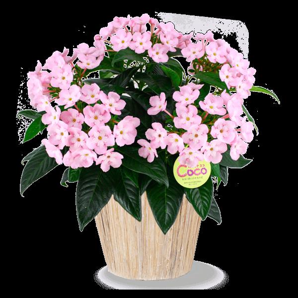 育てる楽しみを贈る 敬老の日 産直花鉢|花キューピットの敬老の日におすすめ!人気のプレゼント特集 2019
