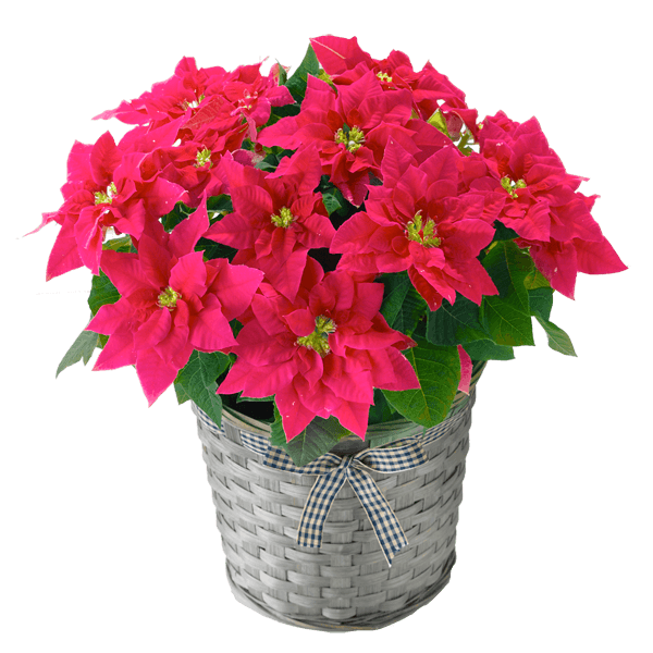 産直花鉢 クリスマス 新作ギフト|花キューピットのクリスマスにおすすめ!人気のプレゼント特集 2019