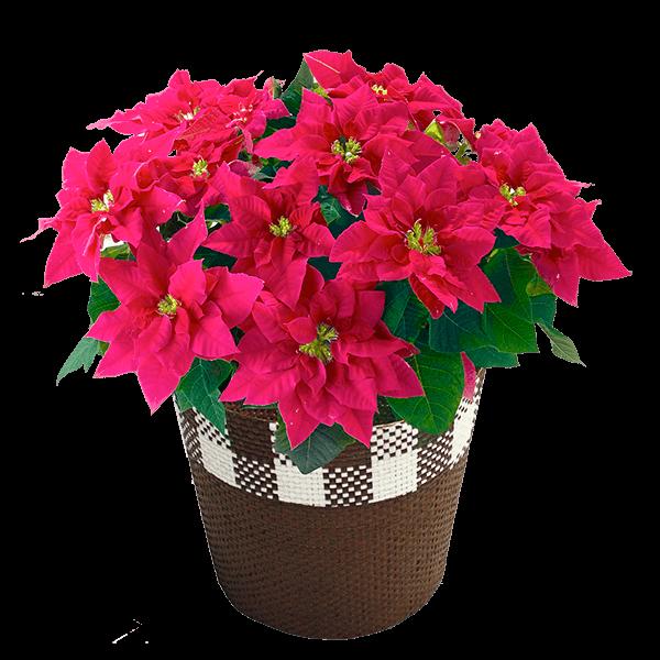 産直花鉢植え プリンセチア|花キューピットのにおすすめ!人気のプレゼント特集 2020