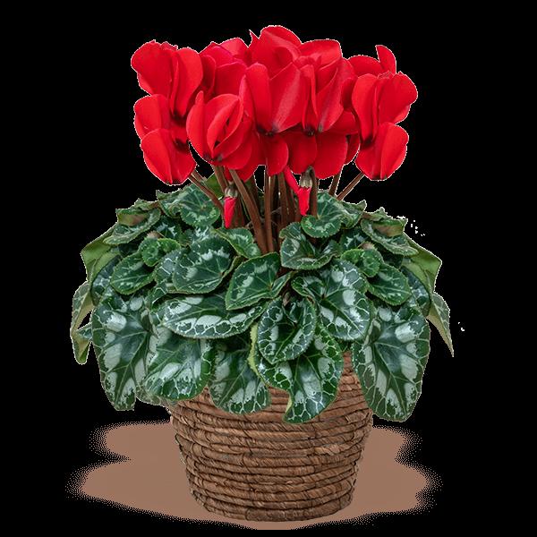 産直花鉢植えシクラメン|花キューピットのにおすすめ!人気のプレゼント特集 2020