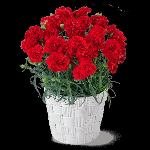 母の日 産直花鉢植え特集