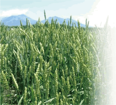 北海道 小麦