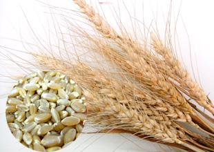 春よ恋小麦