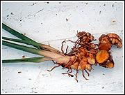 秋ウコンの根