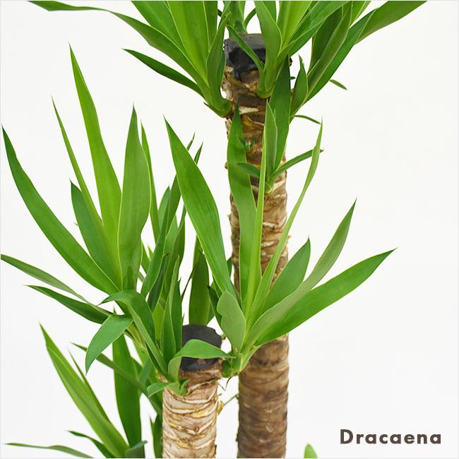 ドラセナ類
