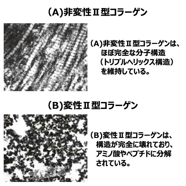 非変性2型コラーゲンと変性2型コラーゲンの違い