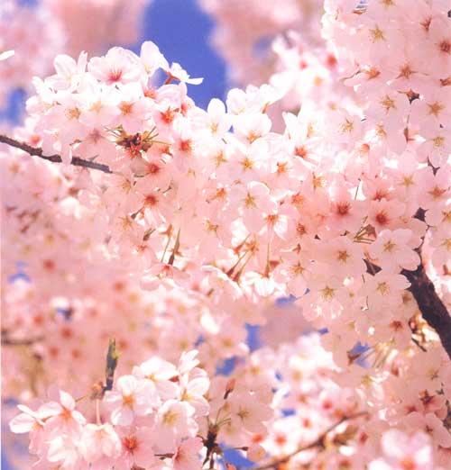 http://www.rakuten.ne.jp/gold/minatoya/image/sakura.jpg