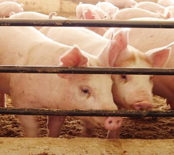 全国を歩き回りやっと見つけた本物の豚
