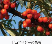 ビコアサジーの果実