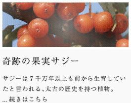奇跡の果実サジー サジーは7千万年以上も前から生育したと言われる、太古の歴史を持つ植物。
