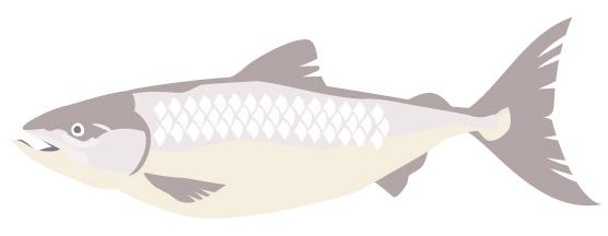 鮭イラスト
