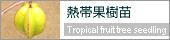 熱帯果樹苗