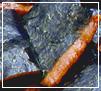 極上海苔小巻