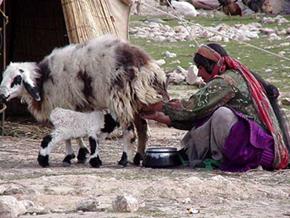 乳搾り カシュガイの遊牧の様子