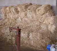 草木染めギャッベ(ギャベ)の染料となる麦の茎