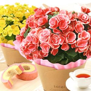 敬老の日  定番の花 ベゴニア全部