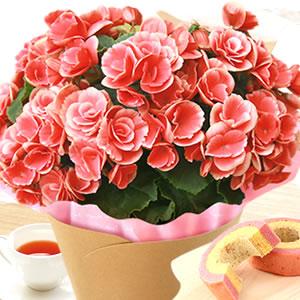 敬老の日  定番の花 ベゴニア ピンク