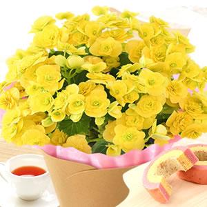 敬老の日  定番の花 ベゴニア黄色