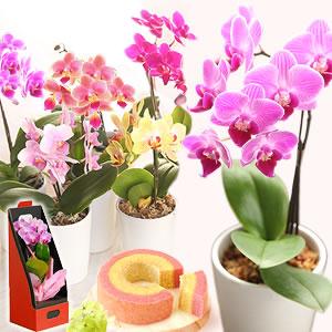 敬老の日 カーネーション以外 花種類 胡蝶蘭
