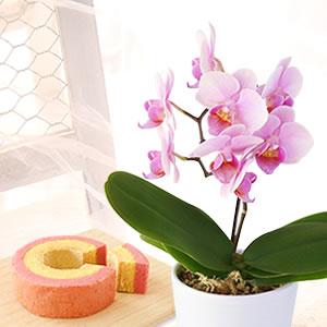 敬老の日 花種類 ミニ胡蝶蘭 ココロ