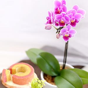 敬老の日 花種類 胡蝶蘭 リンゴピコ