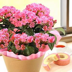 敬老の日  定番の花 匂い桜とバウム