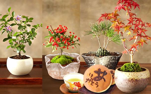 敬老の日  盆栽 和菓子セット