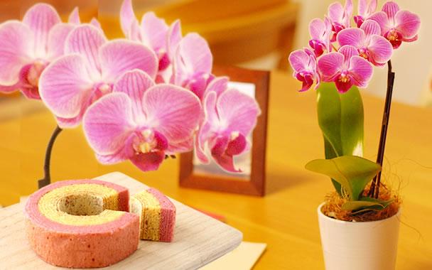 敬老の日 花種類 胡蝶蘭 チュンリー
