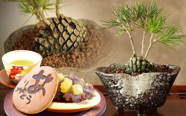 敬老の日  まつぼっくり盆栽 和菓子セット