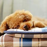 室内で生活する犬用