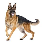大型犬(成犬時体重26kg~44kg)
