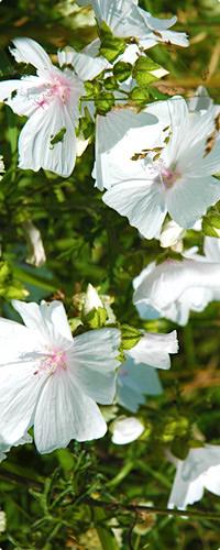 礼文島の花