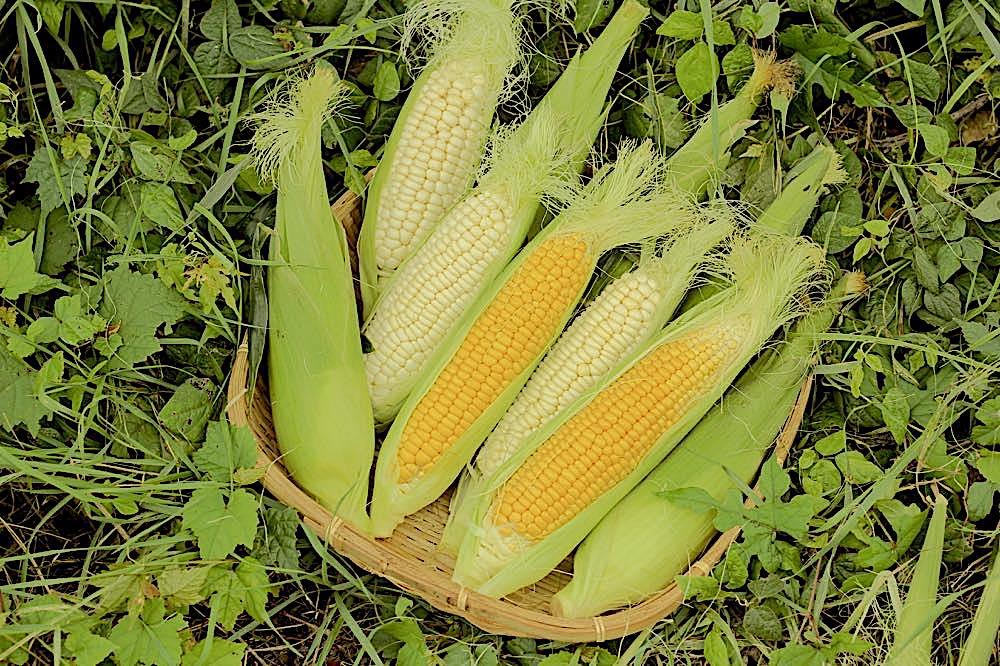 坂口農園のとうもろこしは生でも食べられるほど甘く、毎年予約が殺到している