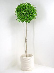 観葉植物ベンジャミナ
